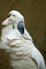 Moluccan Cockatoo.