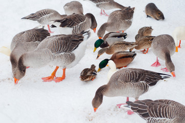 Some geese and ducks eating seeds on snowy ground