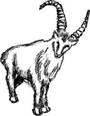 Mountain sheep  illustration