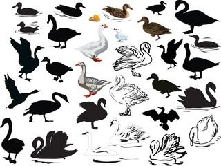 Fotoväggar - isolated swimming bird collection