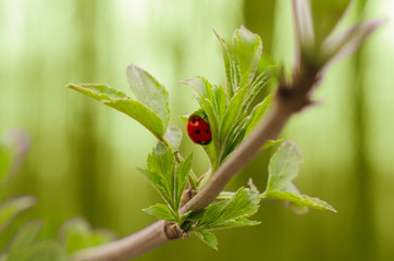Ladybug on a tree sprig