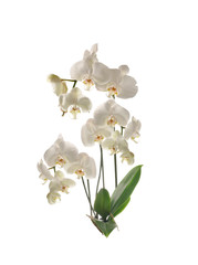 Bush Orchid flower