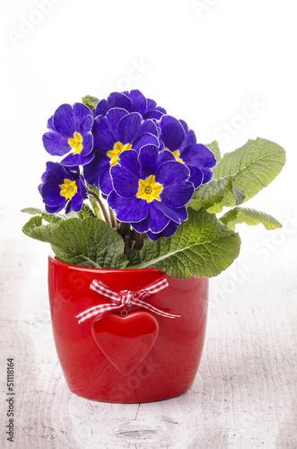 Vaso di primule con cuore rosso immagini e fotografie for Primule immagini