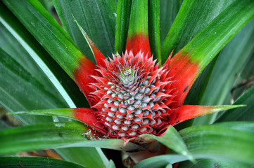 Growing pineapple