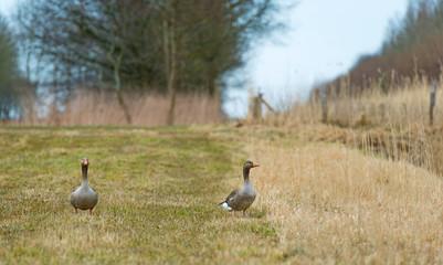 Two geese walking through nature in spring