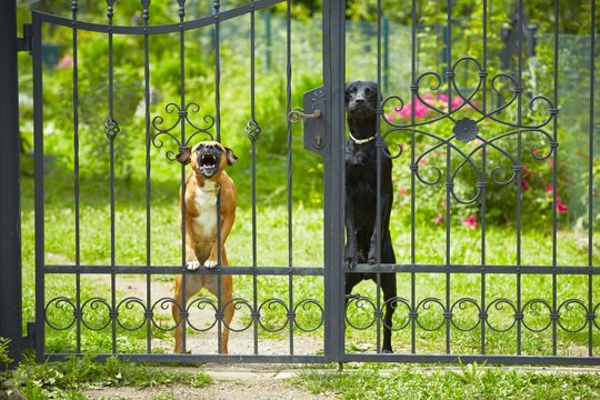 Two dogs behind metal fence
