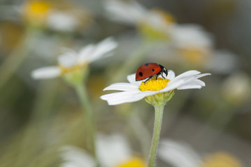 Ladybug on daisy, beautiful summer photo