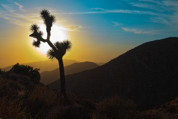 Silhouette of Joshua tree at sunset. USA. California.