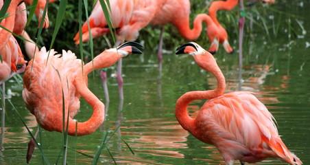 Flamingos fight