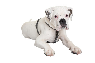 Portrait von einem jungen Boxer Hund
