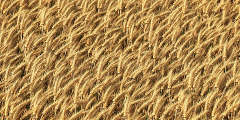 Wheat field as background