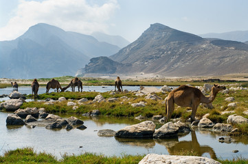 Foto op Plexiglas Midden Oosten Camels on the beach, Oman, Middle East