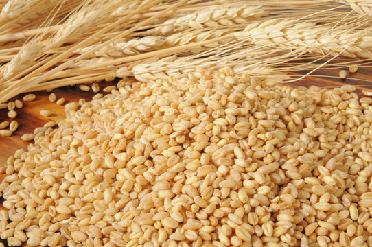 Fresh wheat kernels
