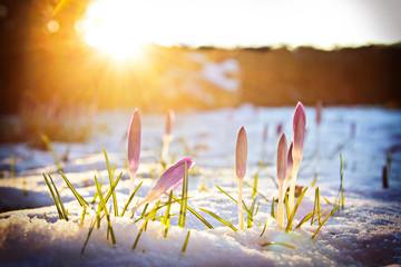 Spoed Fotobehang Krokussen Krokusse im Schnee unter abendlichem Frühlingslicht