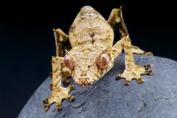 Wall Mural - Leaf-tailed gecko / Uroplatus phantasticus
