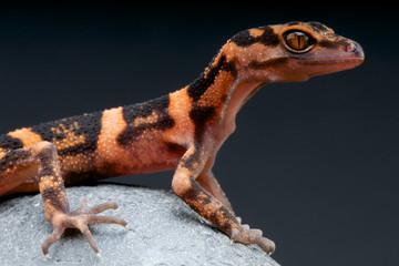 Wall Mural - Cave gecko / Goniurosaurus orientalis