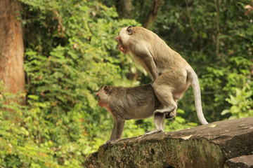 Long-tailed macaques mating