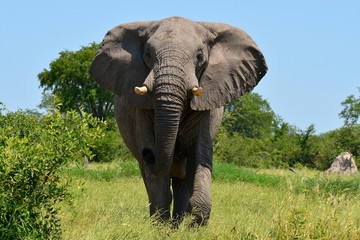elephant at attack