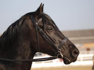Black Horse Headshot In Bridle