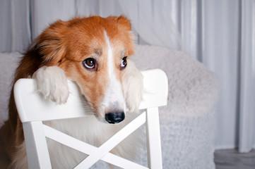 border collie dog portrait in studio