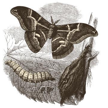 Papillon Bombyx