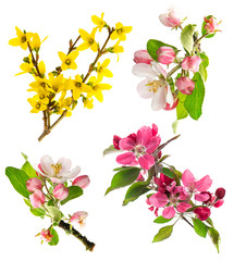 blossoms of apple tree, cherry twig, forsythia