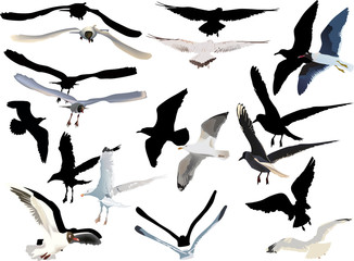 gulls collection on white background