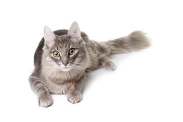 Grey kitten on white background