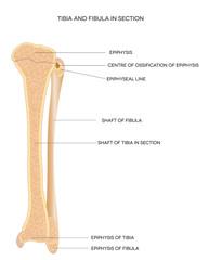 Tibia and Fibula. Leg bones.