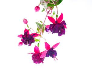 branch purple fuchsia  on white,  background