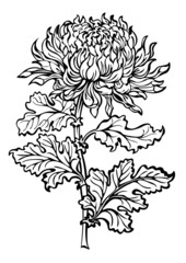 Flower chrysanthemum black and white