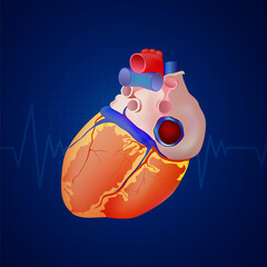 Vector Illustration of a Human Heart Anatomy