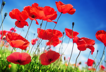 In de dag Rood traf. Poppy flowers on field and sunny day