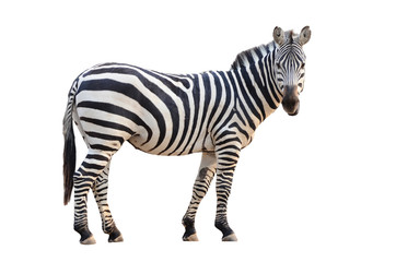 Türaufkleber Zebra zebra isolated