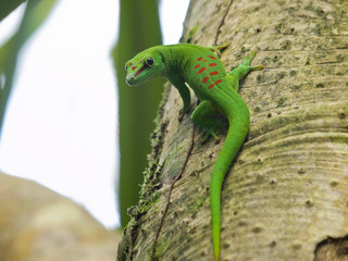 Green Madagascar Day Gecko (Phelsuma madagascariensis)