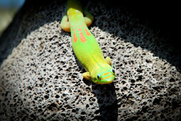 Colorful Sunning Gecko