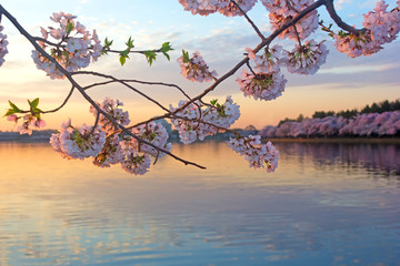 Cherry trees in blossom around Tidal Basin, Washington DC