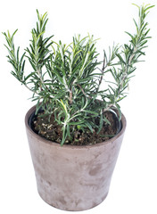 Rosemary Plant isolated on white