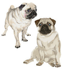 Two pictures of a white pug