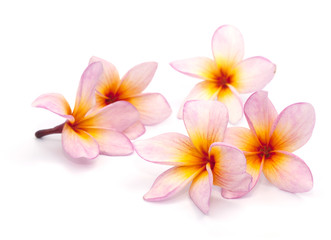 The pink frangipani isolated on the white background