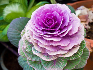 Violet flowering cabbage in nature