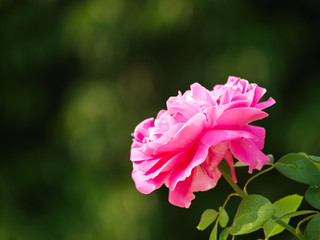 A pink Chulalongkorn rose in nature in Chiang Mai, Thailand