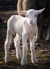 Wall Mural - young lamb