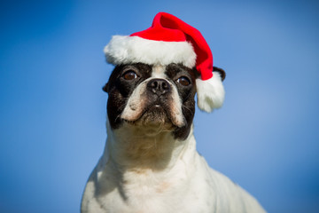 Französische Bulldogge Weihnachtsmütze