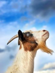 Fainting Goat over Blue Sky