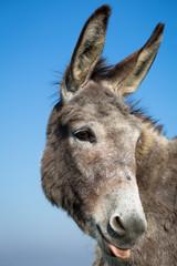 grey donkey with blue sky