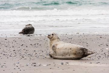 Seehund an der Nordsee, Harbor seal at the North Sea