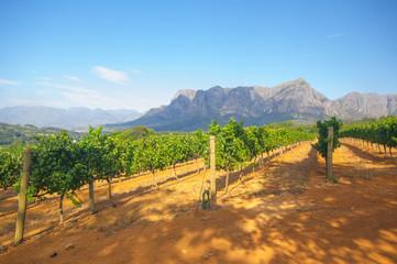 Garden Poster South Africa Vineyard in stellenbosch, South Africa