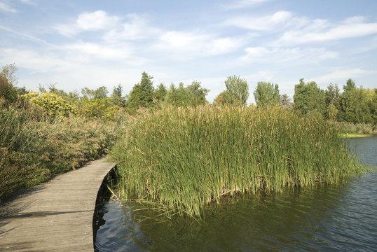 Roseau, Lac de Creteil, Parc départemental, Val de Marne, 94