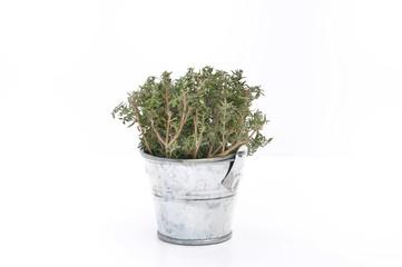 thym frais dans un pot